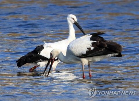 【韓国】 韓日両国の友情を象徴したコウノトリ、日本で死んでいるのを発見