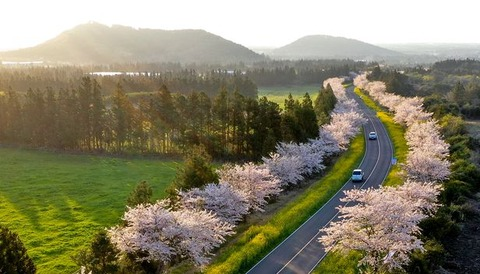 【韓国】 済州に咲き誇る花「王桜」…日本から渡って来たという説と対立したが、原産地は日本ではなく「済州固有種」