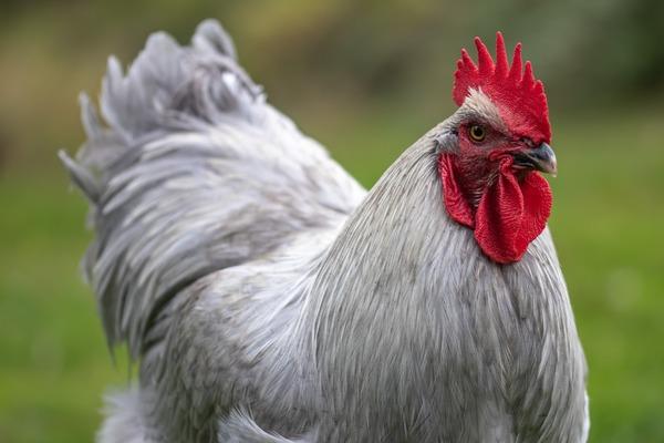 【画像】ベトナムの鶏、めちゃくちゃたくましすぎワロタwwwwwww