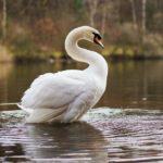 用水路にケガした白鳥、外来種の癖に「白鳥」というだけで保護される