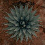 100年に1度しか咲かない「アガベ」が開花……