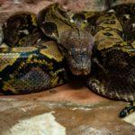 横浜脱走ニシキヘビの飼い主「管理が甘かった。お詫び致します」