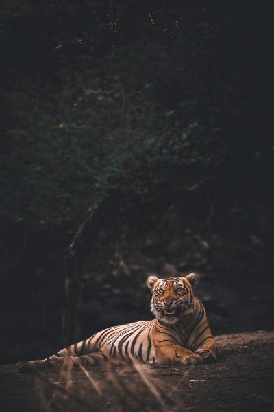 トラをペットにしてるのがバレてトラと共に逃げた男を逮捕wwww