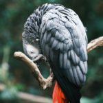 鳥・ヨウムのシンガーソングライター 曲名「うんこの歌」をお聴き下さい