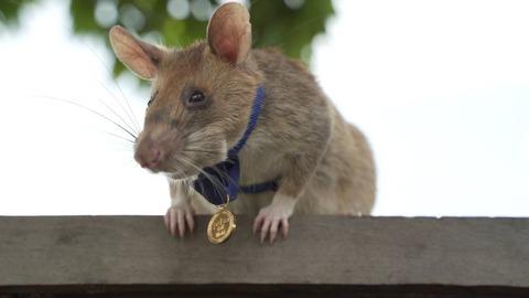 【朝日新聞】 英雄ネズミのマガワ引退へ カンボジアの地雷撤去で活躍