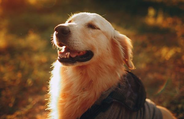 【GIF動画】ゴールデンレトリバーとかいう犬、なんでこんな可愛いのか!?