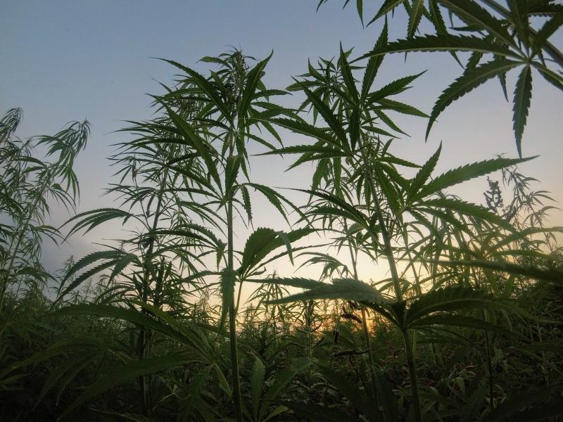 大麻で捕まる学生が5年で5倍にwwwwwwどうすんだこの国??